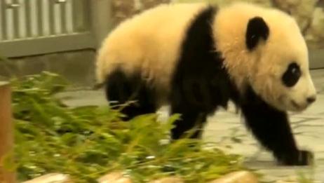 熊猫宝宝跑起来还挺带节奏感,这小屁股扭的每一次都好萌!