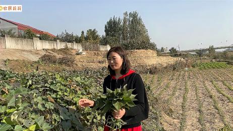农村媳妇要吃霜打的红薯叶,自己亲自去地里摘,一会摘一袋