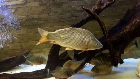 把一只肥鲤鱼放进食人鱼群,三天后再看,大战一触即发