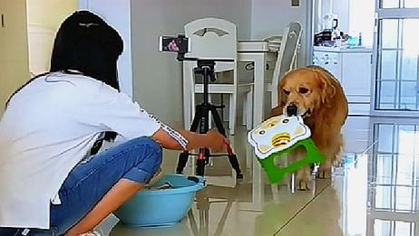 金毛心疼女主人蹲着洗衣服累,转身叼来板凳,这狗没白养