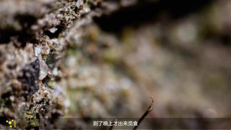 这么多年都被误当成蜈蚣,殊不知是一种益虫,专以害虫为食!