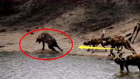 掏肛技术哪家强?实拍鬣狗vs野狗,二哥终于知道被掏的绝望了!