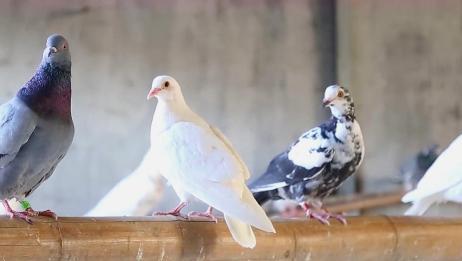 养鸽子最怕鸽子不下蛋的问题,如果出现这种情况该怎么处理吗!