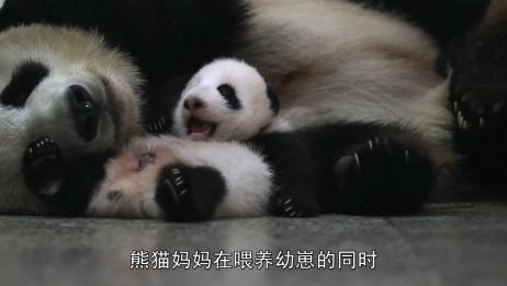 熊猫宝宝,原来熊猫妈妈在喂养幼崽的同时,也在养育其它宝宝