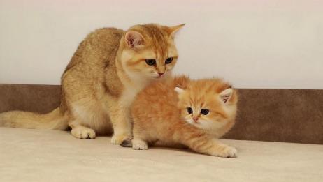 小奶猫第一次见姐姐,被薄情无视,无辜模样让人揪心