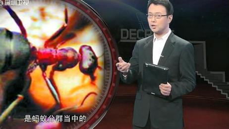 解密:这种蚂蚁会长翅膀,他们品种特殊,连专家都猜测不到!
