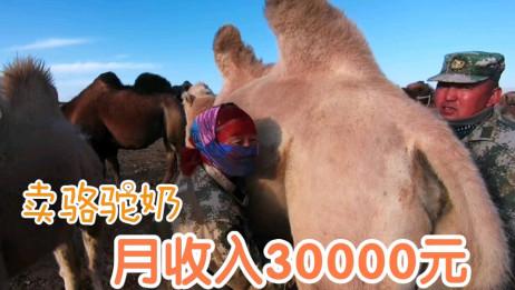 骆驼奶营养价值高,这里的牧民养骆驼每月挤奶收入三万元