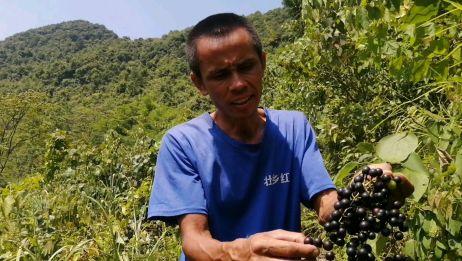 野生山葡萄成熟了,这一片可能有上万斤,由于山路崎岖,没人采摘