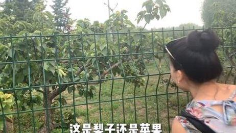 北京这个公园真好,桃树梨树到处是果树,随便吃不要钱