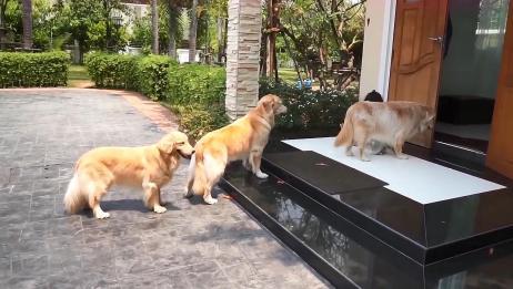 四只大金毛遛弯回家,在家门口排队挨个擦脚,素养太高了吧