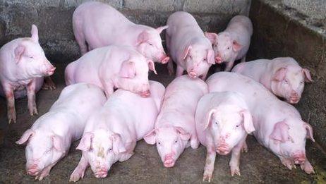 今日猪价:止跌再回涨,最低价回到13.8元最高价为17.1元,稳了!