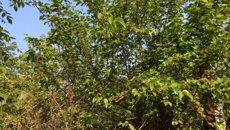 路边好大一株桑树,结满了桑椹,已经长红了,过几天就会成熟