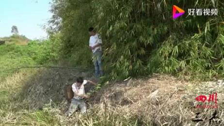 四川方言:周鑫鑫徐二娃偷竹笋,被眼镜逮到现场