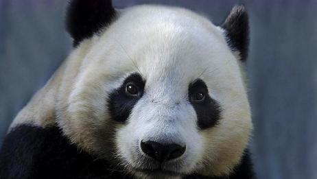 熊猫妈妈生双胞胎,生出第二个宝宝时,自己一脸诧异!