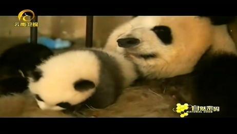 生了双胞胎的大熊猫母亲,会被饲养员严格照顾?原因太暖心