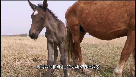 农村穷二代,带你看看刚出生的小马驹,吃奶的样子还挺萌