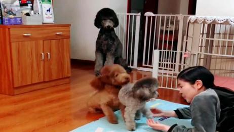 老妈假装晕倒看狗狗们的反应,没有任何指令下玛丽的做法太感人了
