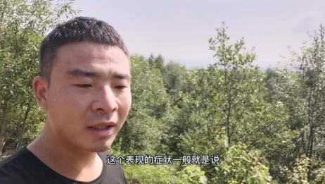 小伙放山上的羊出现了意外,母羊意外中毒,中毒症状看这几点