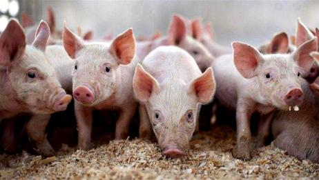 全国500个农村集贸市场仔猪平均价格同比上涨151%