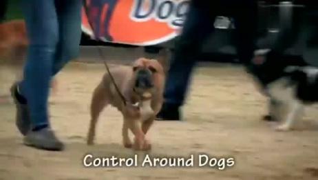 """如何训练一只智商并不高的法国斗牛犬?让他成为""""别人家的狗"""""""