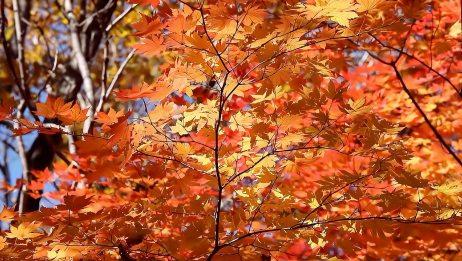 秋天的枫叶 秋天的枫叶