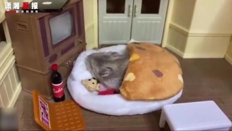小仓鼠的独居生活:一屋一鼠,三餐四季,美滋滋~