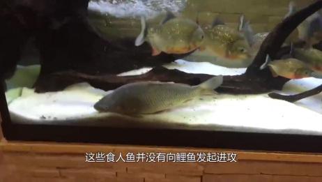 老外把食人鱼饿了七天,丢进去一条鲤鱼,场面彻底失控