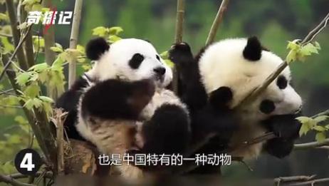 动物情报局,呆萌小熊猫萌翻众人!5种最可爱的动物!