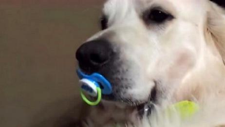 狗狗趁小主人睡着,偷走了它的小奶嘴,主人要还不给