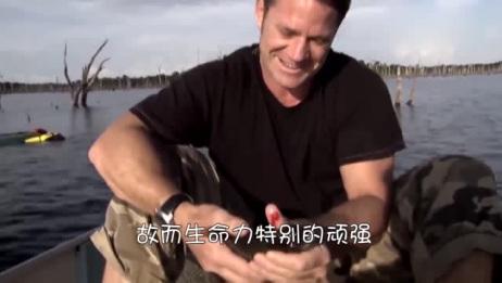 食人鱼进食速度到底有多恐怖,不到一分钟,鸡就被啃成骨架!