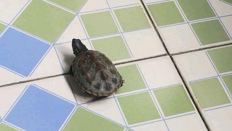冬眠的小乌龟开始活动了